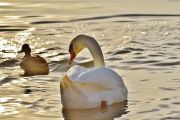 swan-1114270640